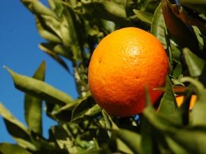 mandarinier 093244